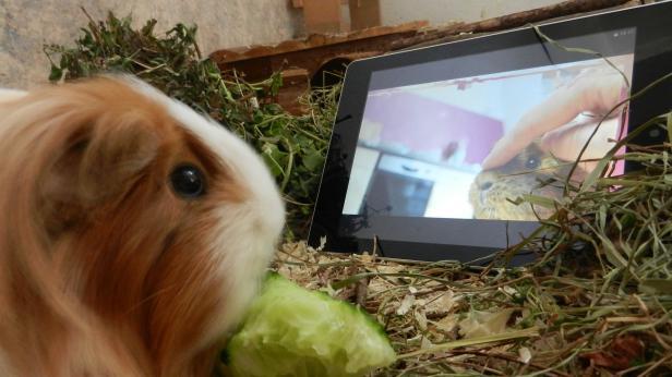 Meerschweinchen Bella hat sich beim gemütlichen Fernsehabend - inklusive Snacks - für den futurezone Fotowettbewerb Tiere und Technik ablichten lassen