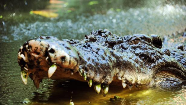Der Mann wusste sich gegen das Krokodil zu wehren