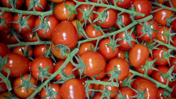 Gartenbau Bauer züchtet Tomaten im Glashaus