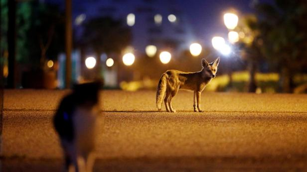 Red foxes roam amid the coronavirus disease (COVID-19) restrictions in the Israeli city of Ashkelon