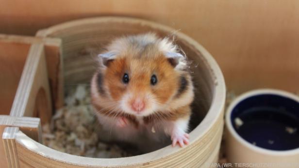 Ohne Maske infizierten sich zwei Drittel der Hamster binnen einer Woche