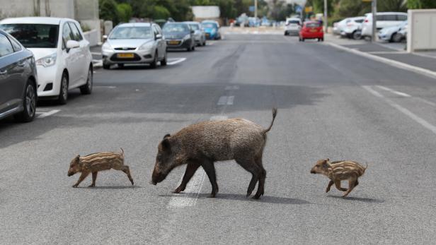 Coronavirus pandemic - wild animals roam free in Israel