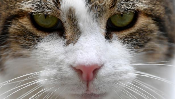 Larry the cat is seen in Downing Street in London