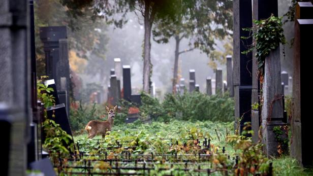 A deer stands between tombstones at the old Jewish part of the Zentralfriedhof cemetery on an autumn day ahead of All Saints Day in Vienna