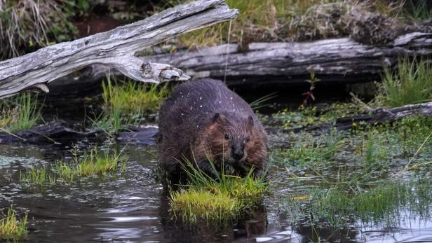 FILES-CHILE-ENVIRONMENT-WOODS-BEAVERS