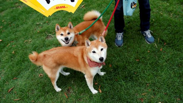 FILE PHOTO: A local resident takes Japanese Shiba Inu dogs for a walk outside Toyota stadium before the Rugby World Cup match between Wales and Georgia in Toyota, central Japan