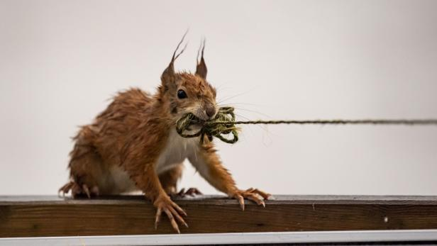 Squirrel with string
