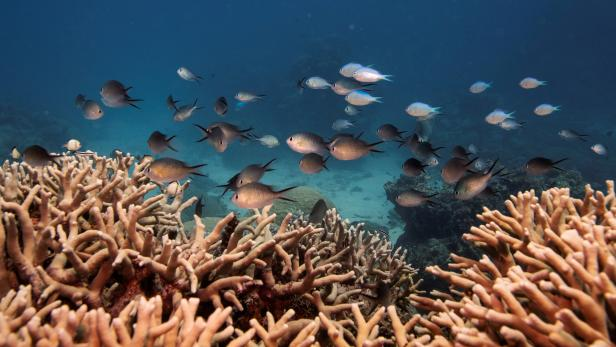 FILE PHOTO: A school of fish swim above a staghorn coral colony as it grows on the Great Barrier Reef off the coast of Cairns, Australia