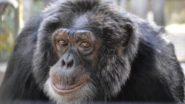 Der berühmte Schimpanse Bubbles