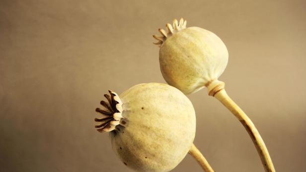 Opiumpflanze