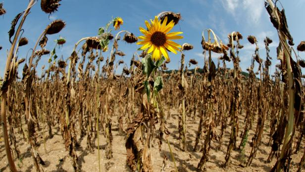 FILE PHOTO: Sunflower blooms in between dried-out ones during hot summer weather on a field near Benken
