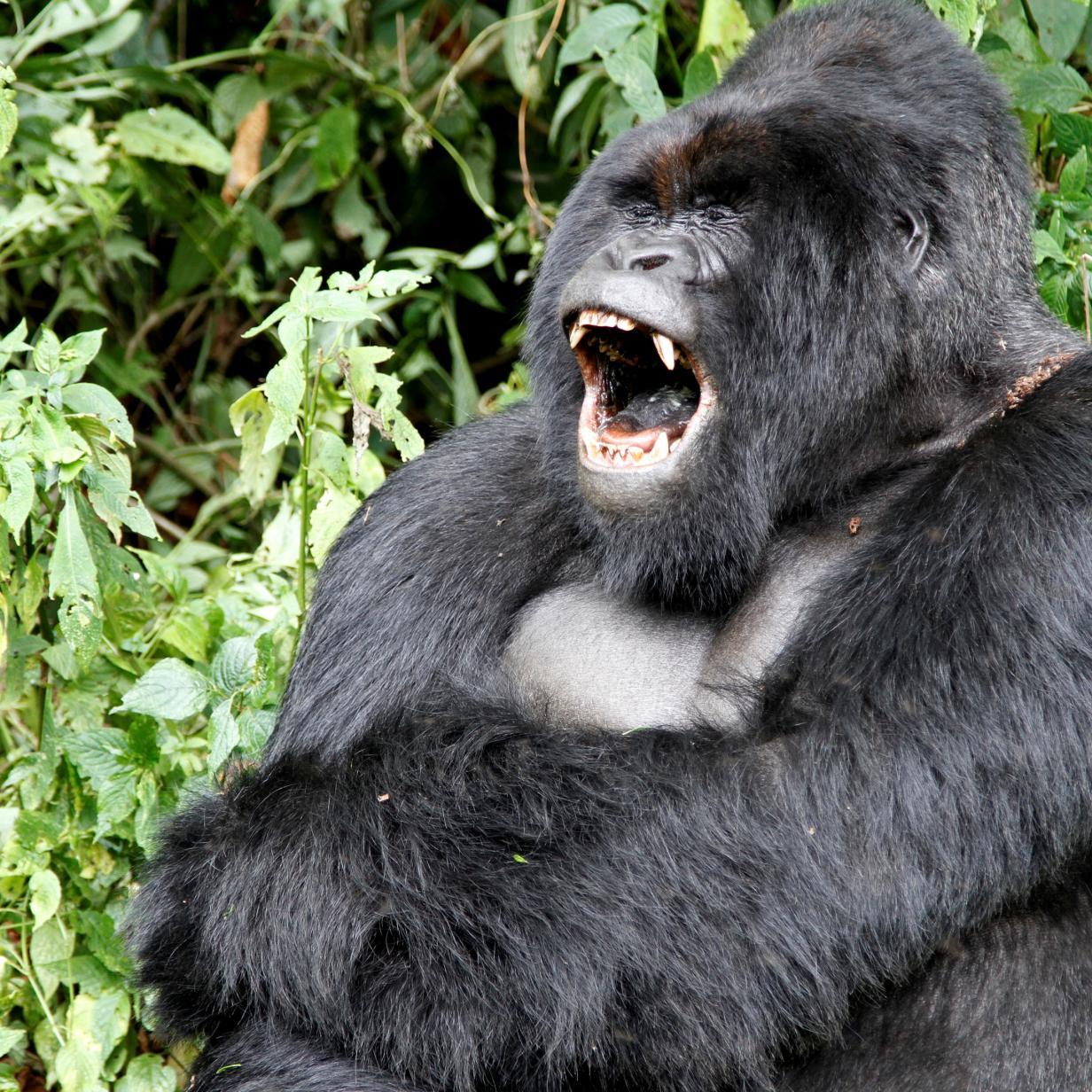 Gorillas posieren für Selfie: Foto geht viral