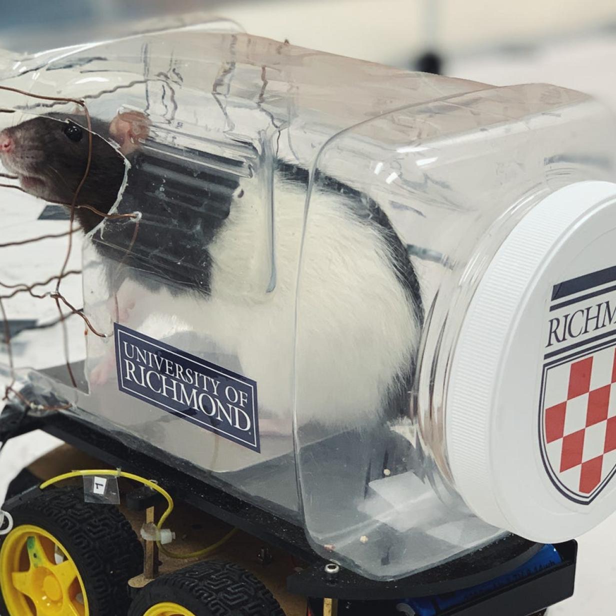 Video: Ratten können lernen, kleine Autos zu fahren